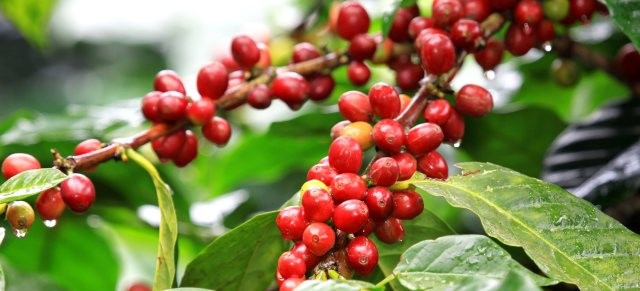 liberica coffee tree