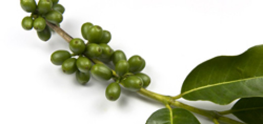 Green coffee plant